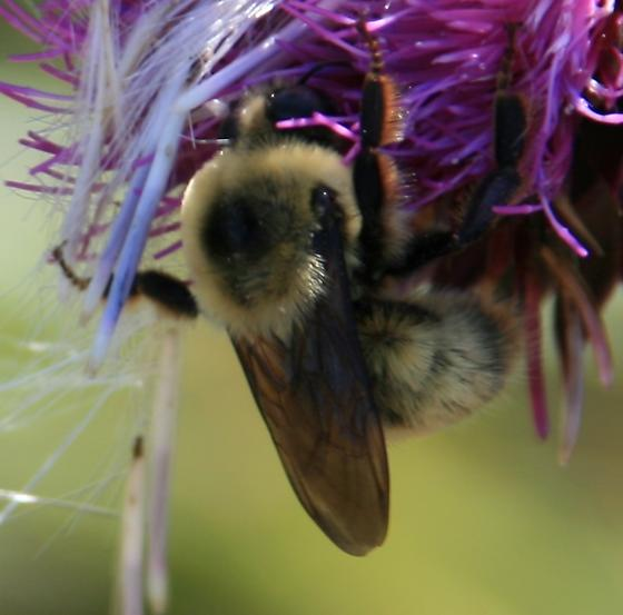 bee - Bombus nevadensis - male
