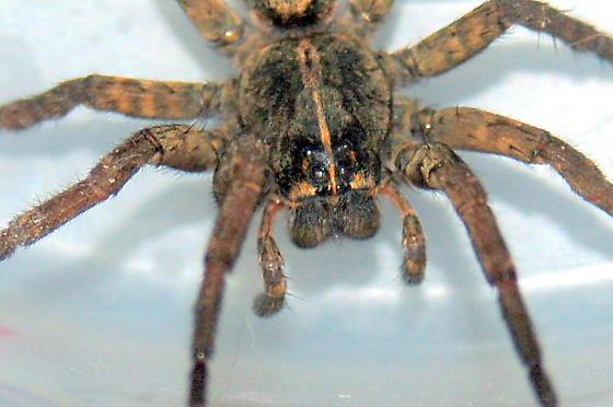 Pretty Spider - Tigrosa grandis