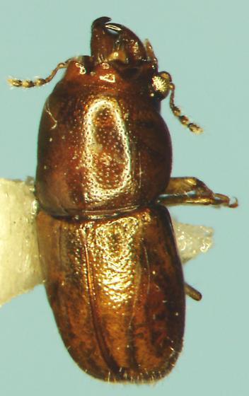 Coleoptera - Octotemnus - male