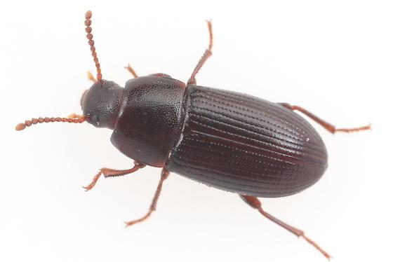 Tenebrionid - Eutochia crenata