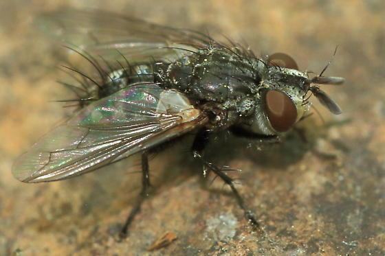Side - Phorocera - male