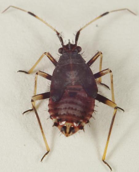 Miridae nymph?