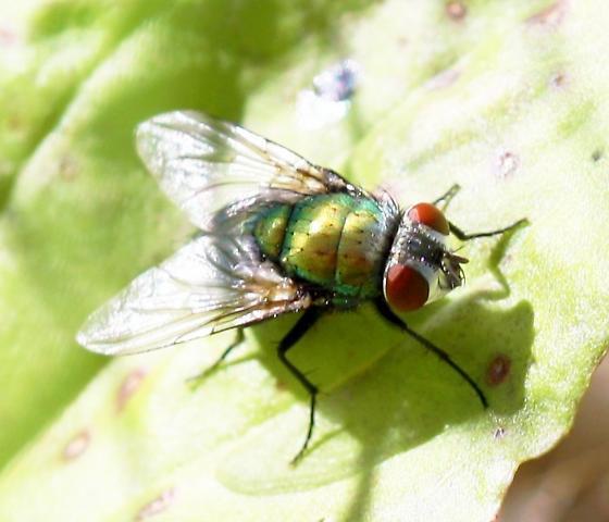 Green bottle fly - Lucilia sericata