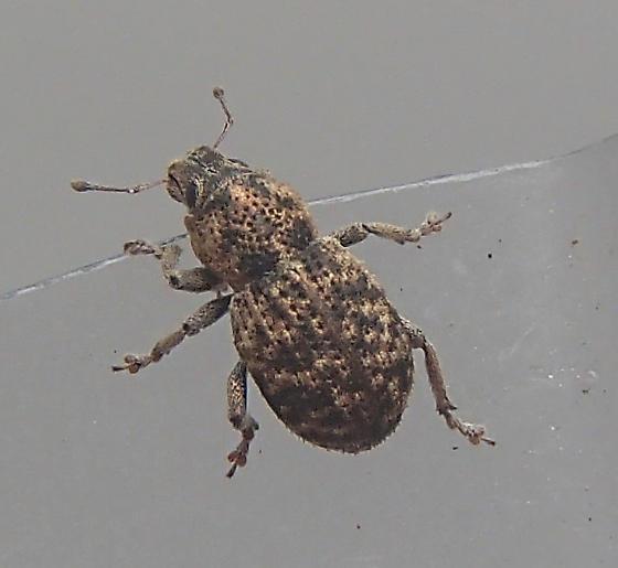 Weevil - Aracanthus pallidus