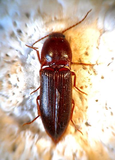 Click Beetle - Ampedus