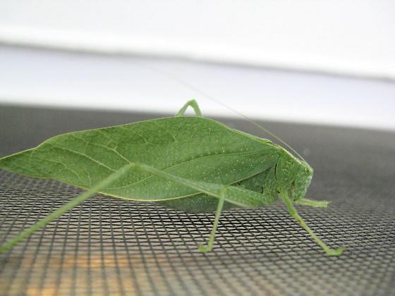 Angle wing Katydid - Microcentrum rhombifolium - male