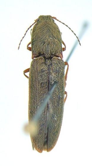 Limonius 06 - Limonius griseus