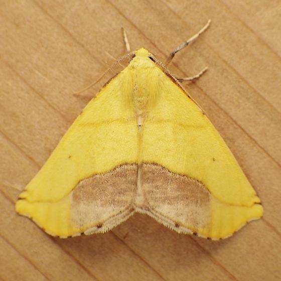 Geometridae: Sicya macularia - Sicya macularia - male