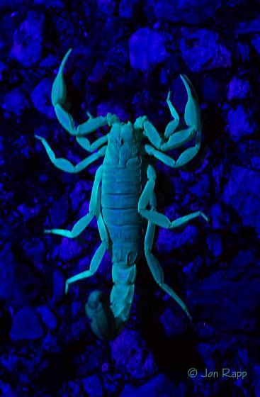 Arizona Stripedtail Scorpion - Paravaejovis spinigerus