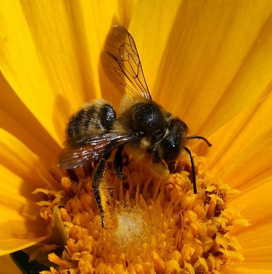bee on Coreopsis  - Megachile frigida - male