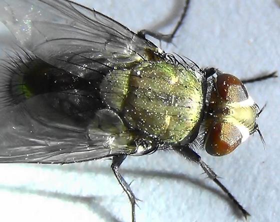 Sexing Flies in the Genus Lucilia (dorsal bright) - Lucilia - male
