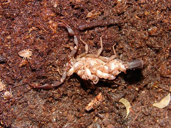 Vaejovis carolinianus  - Vaejovis carolinianus - female