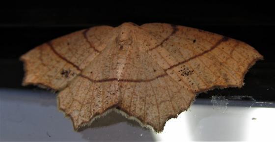 Species Besma quercivoraria - Oak Besma - Hodges#6885 - Besma quercivoraria