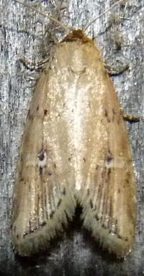 5/30/19 moth 2 - Acrapex relicta