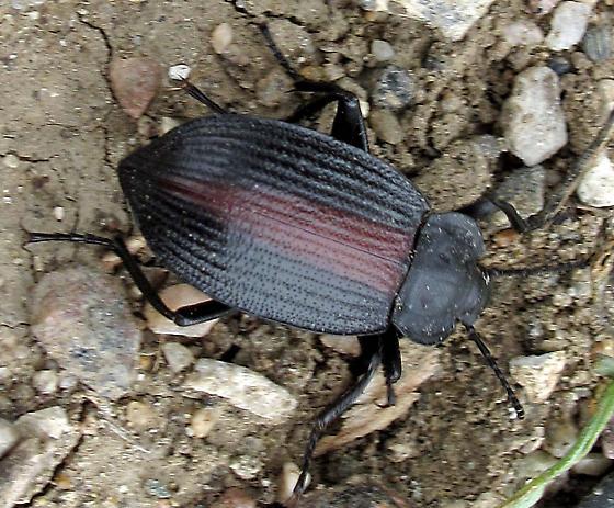 purple-striped beetle  -alternate photo- - Eleodes suturalis