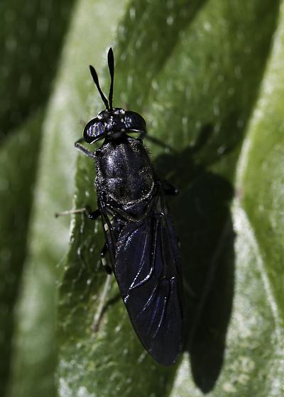 Unknown Fly - Hermetia illucens