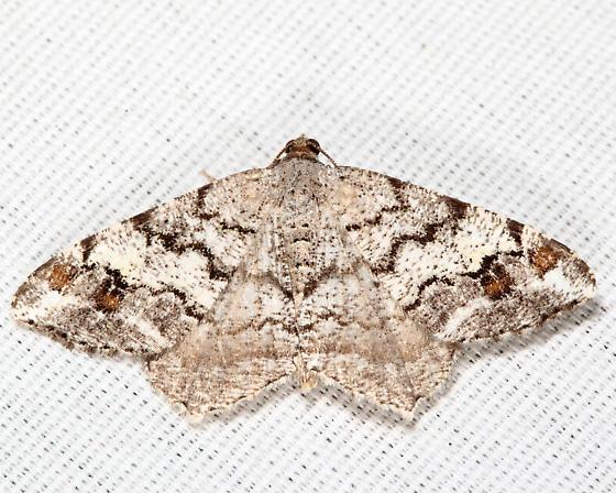 Granite Moth - Macaria granitata