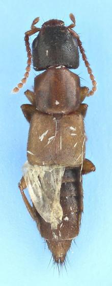 rove #27 - Achenomorphus corticinus