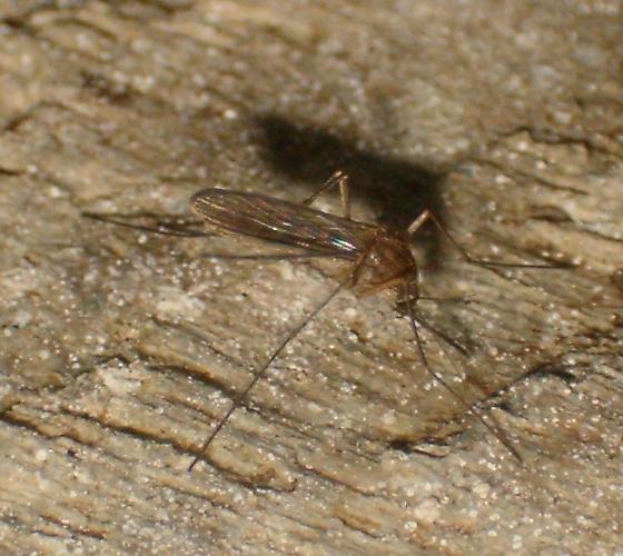 Overwintering - Culex pipiens - female