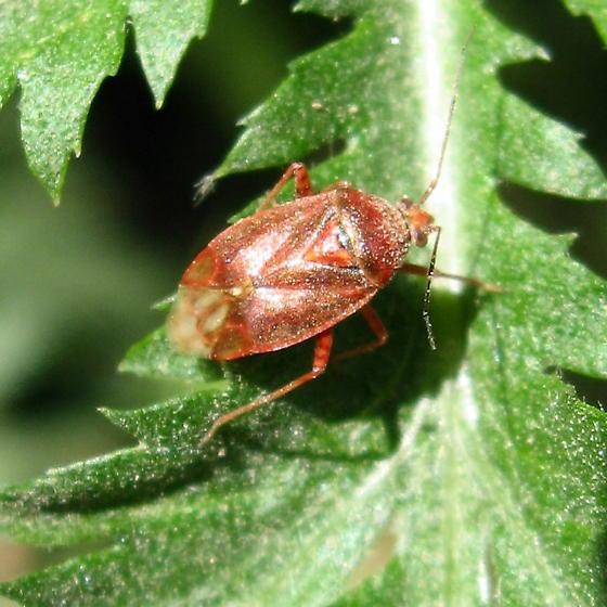 Pack Heteroptera 7.11.09 01 - Lygus convexicollis
