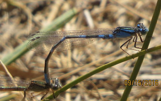 Tule Bluet? - Enallagma carunculatum - male - female