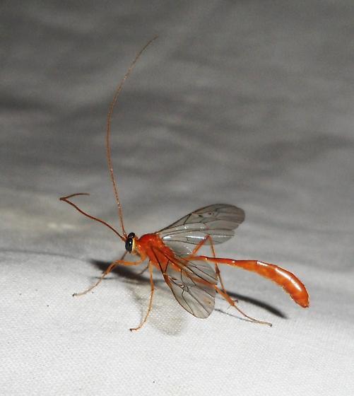 unid. Ichneumon wasp - Enicospilus purgatus