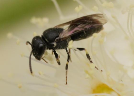 small black bee - Hylaeus