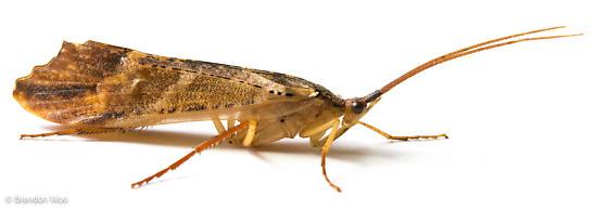 Nemotaulius hostilis