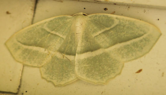 Pale Beauty - Campaea perlata