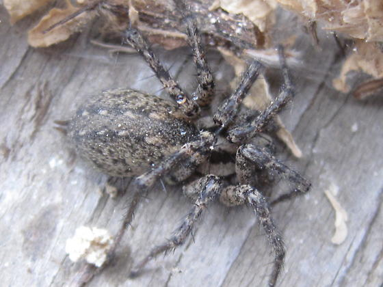 Calilena angelena - female