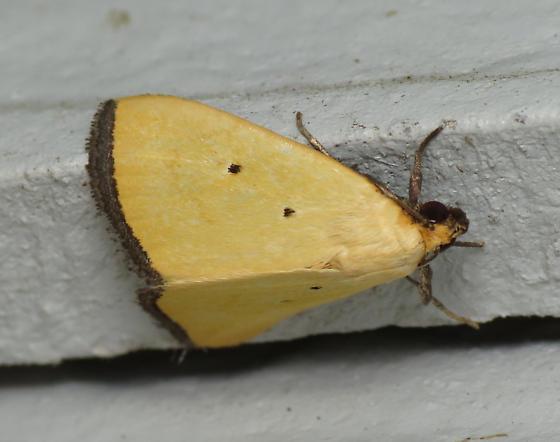 Black-bordered lemon - Marimatha nigrofimbria