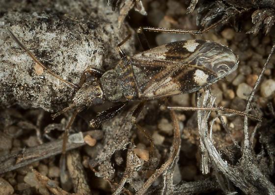 Dirt-colored Seed Bug? - Ligyrocoris sylvestris