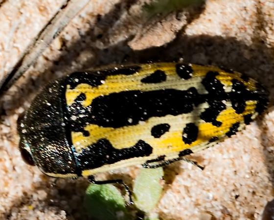 Unknown Invert 5537 - Acmaeodera scalaris