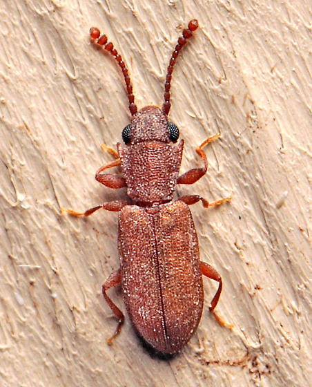 Beetle - Silvanoprus scuticollis