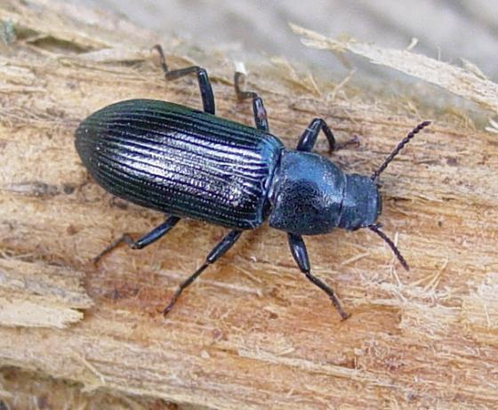 Darkling Beetle? - Centronopus calcaratus