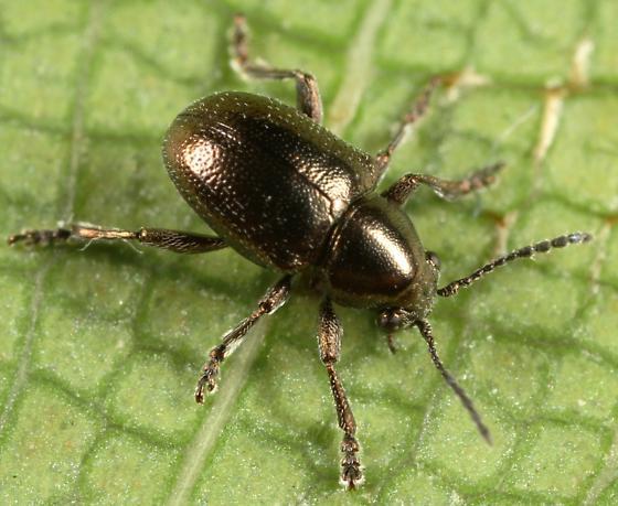 Leaf Beetle - Graphops simplex