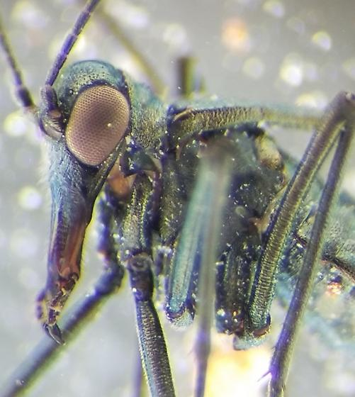 Boreidae - Boreus coloradensis - male