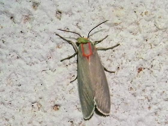 Possibly Pygarctia neomexicana ? - Pygarctia neomexicana