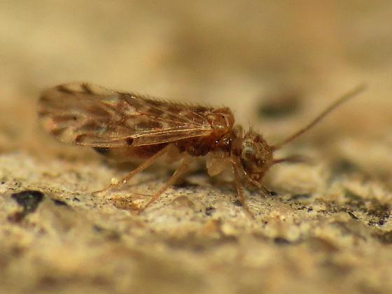 Another strauchi - Ectopsocus strauchi