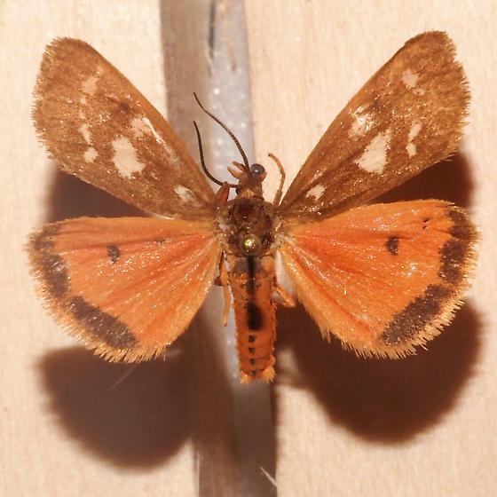 Hodges#8121 - Virbia aurantiaca - female