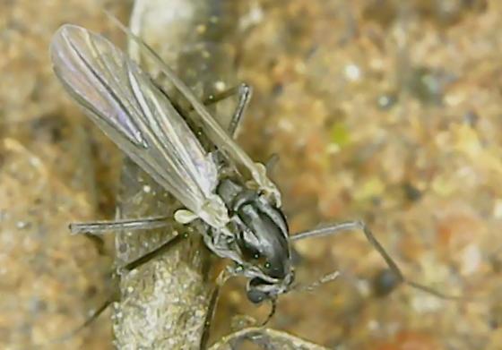 Non-biting Midge - female