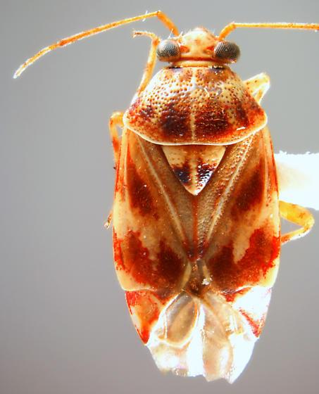Tropidosteptes quercicola  - Tropidosteptes quercicola