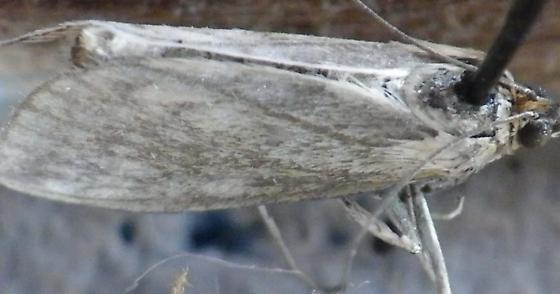 Unknown moth - Sitochroa chortalis