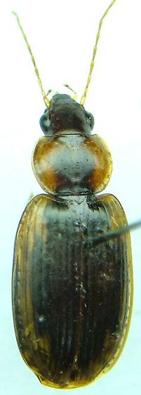 Tanystoma - Tanystoma maculicolle