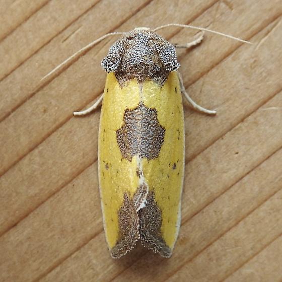 Noctuidae: Stiria rugifrons - Stiria rugifrons