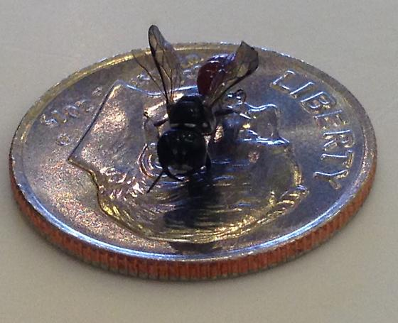 What is this? A wasp?  - Crossocerus angelicus
