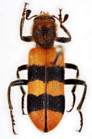 Clerid Beetle - Trichodes bibalteatus