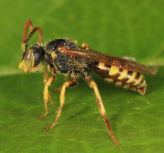 Cuckoo Bee - Nomada luteoloides - male