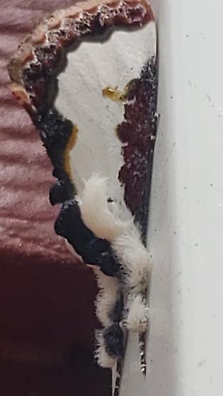 Wood nymph moth?  - Eudryas unio