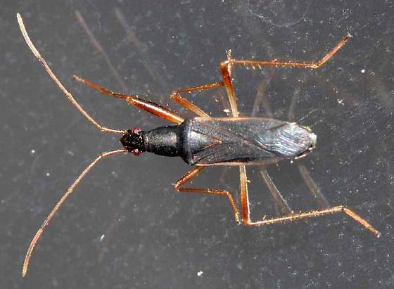 Hemiptera - Cnemodus hirtipes